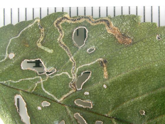 Nepticulidae, mines on Elm - Stigmella multispicata