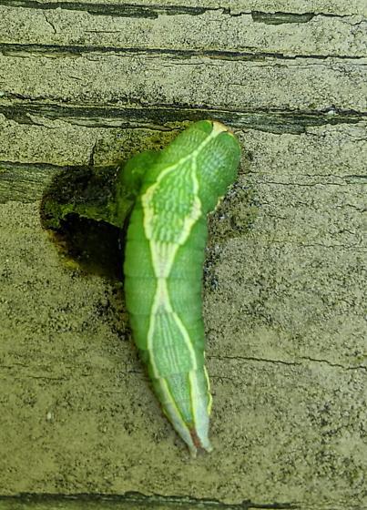 Caterpillar hiding under oak leaf: heterocampa?