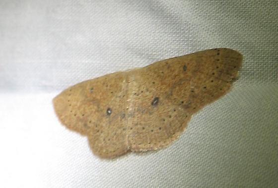 Cyclophora packardi