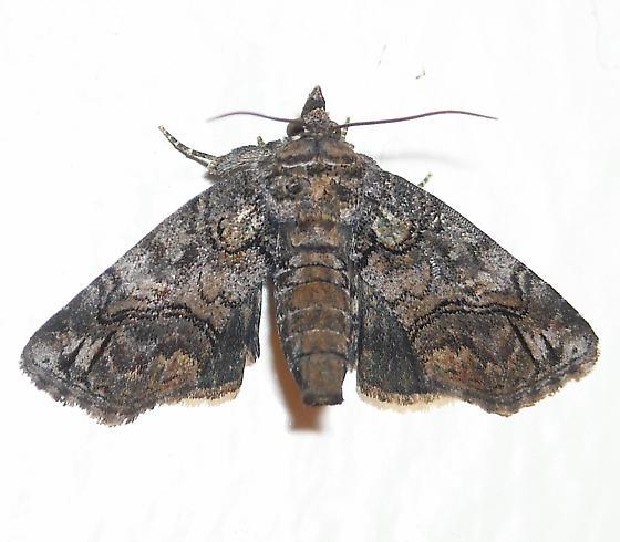 Pygmy Paectes - Hodges#8959 - Paectes pygmaea - female