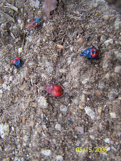 Blue & red bugs? - Euthyrhynchus floridanus