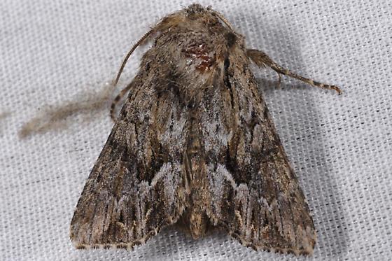 Unknown moth - Apamea cinefacta