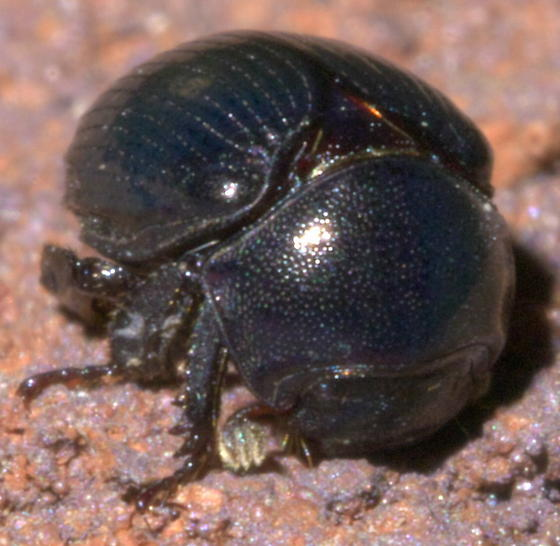 Dark, round beetle with white stitching - Germarostes