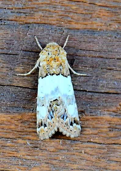 Bluish Moth - Schinia albafascia