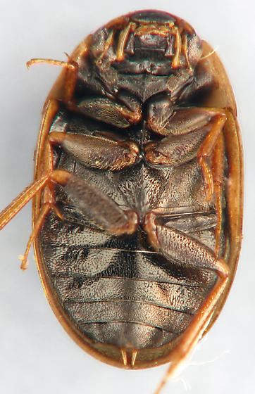 Hydrophilid #7 - Enochrus pygmaeus