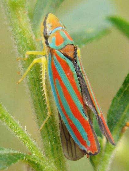 Graphocephala - Graphocephala teliformis