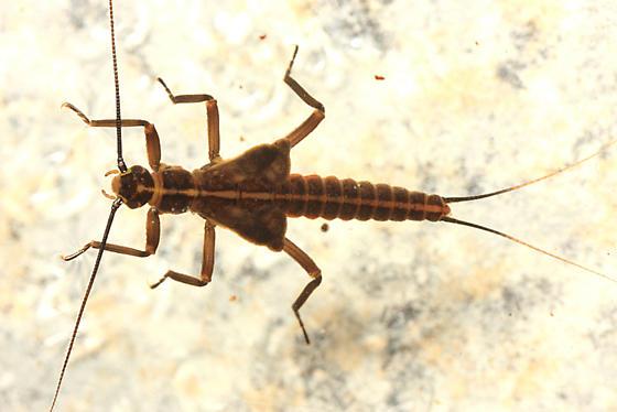 Stonefly larva - Taeniopteryx burksi