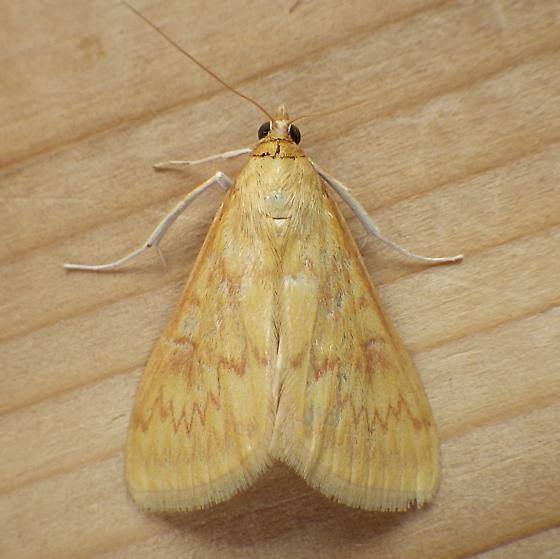 Crambidae: Ostrinia nubilalis - Ostrinia nubilalis