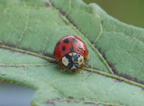 asian-ladybug-genus-species-name-hugh-hefner-young