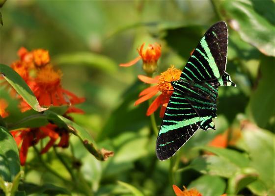 Urania Swallowtail Moth (Urania fulgens) - Urania fulgens