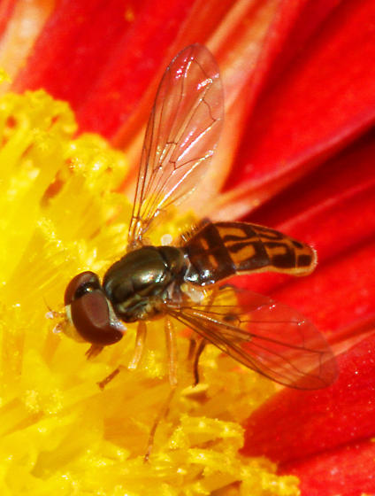 minute Syrphidae - Toxomerus marginatus