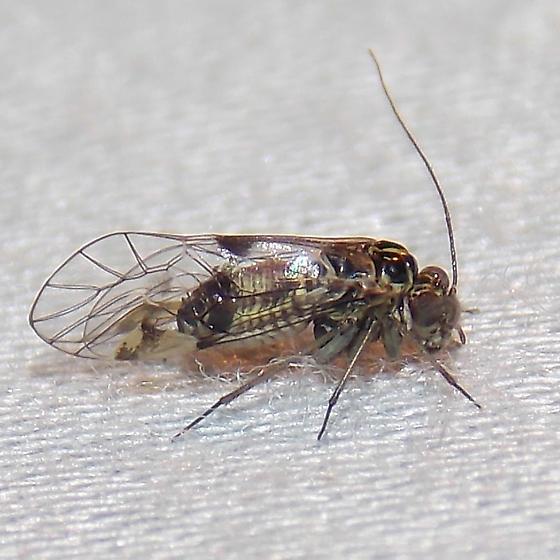 Hyalopsocus floridanus