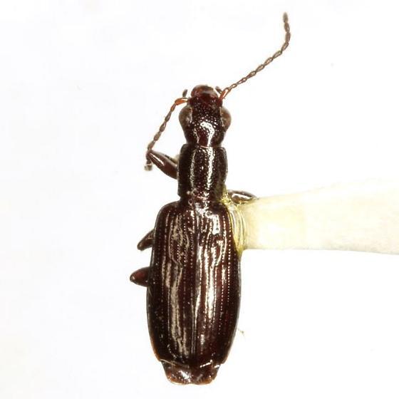 Cylindronotum aeneum Putzeys - Cylindronotum aeneum