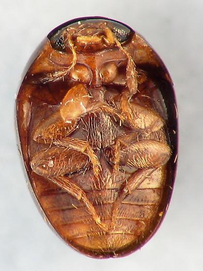 Acylomus piceous - Acylomus