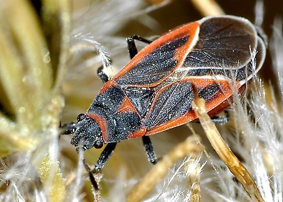 Lygaeid probably on Brickellia seeds - Melacoryphus admirabilis