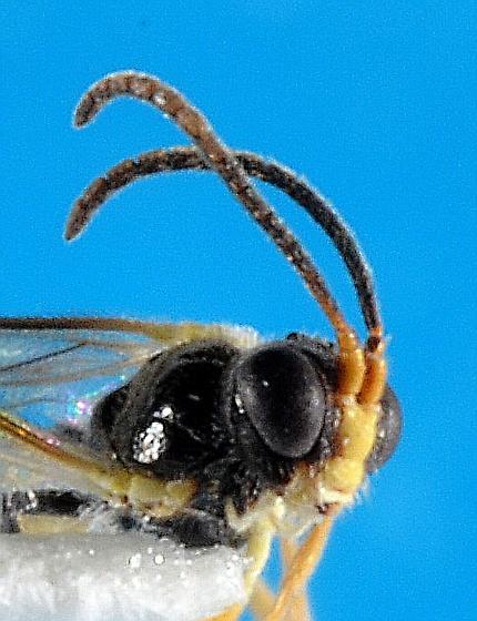 Alaskan adelognathidine - female