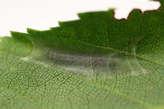 0951 Gold-striped Leaftier adult and larva - Machimia tentoriferella