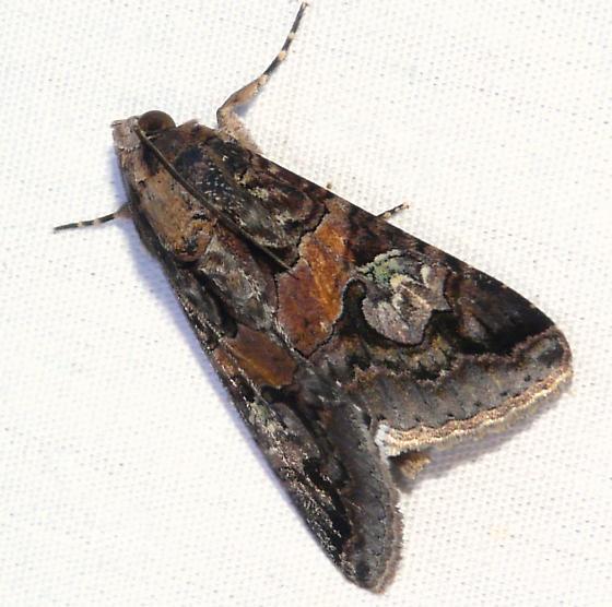 Melipotis famelica - male