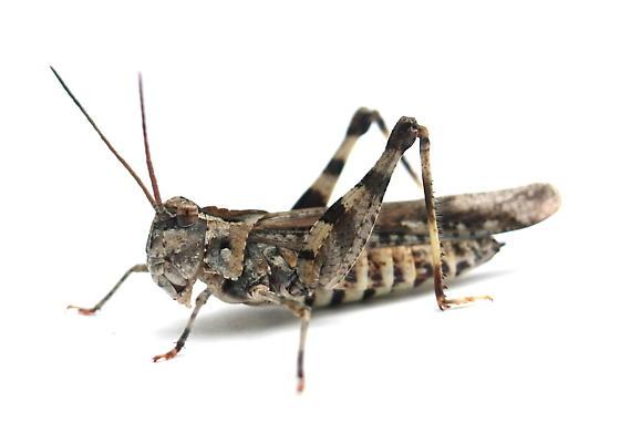 Psinidia fenestralis - female