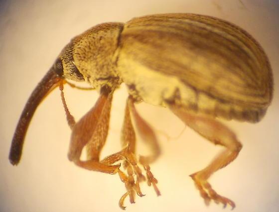 Weevil - Anthonomus tectus