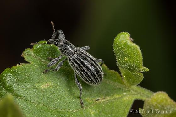 Weevil - Myrmex vandykei