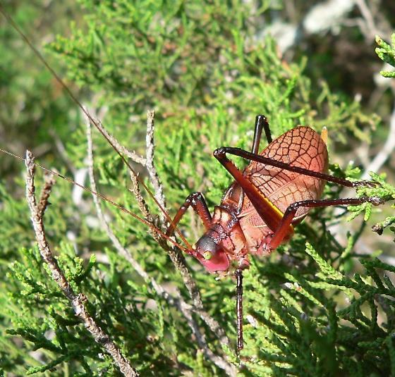 Paracyrtophyllus robustus - male