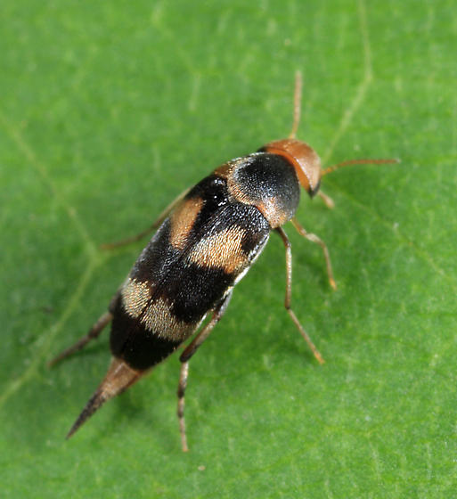 Mordellid - Mordellistena trifasciata
