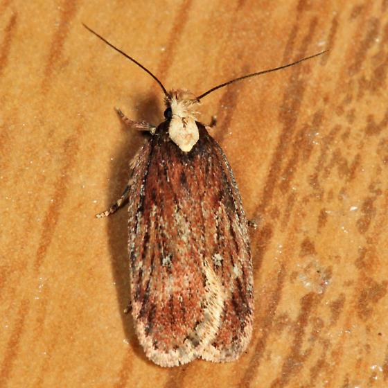 moth - Depressaria alienella