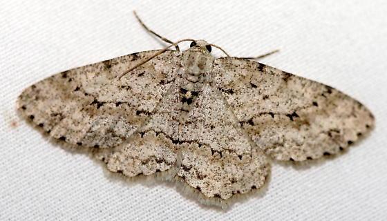 Geometrid moth - Ectropis crepuscularia