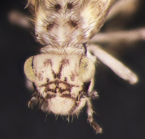 Psocodea, head - Echmepteryx hageni