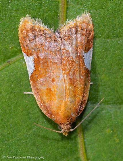 Unknown Moth - Acleris holmiana