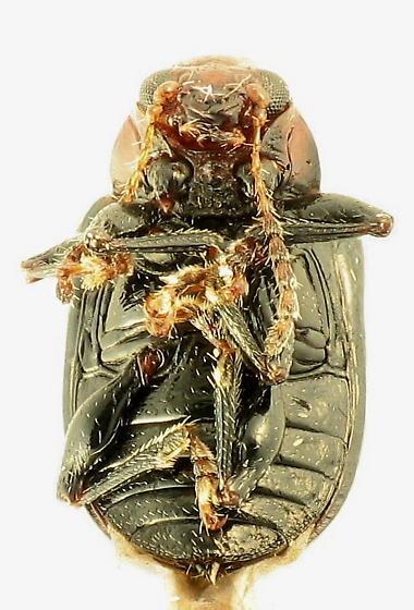 Leaf beetle - Eumolpinae? - Paria