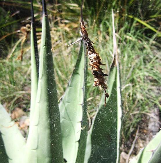 Desertshrub spider - Diguetia