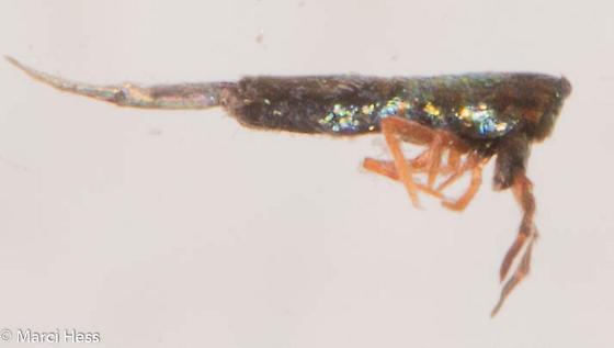 Lepidocyrtus paradoxus? - Lepidocyrtus paradoxus