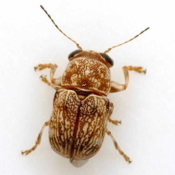 Pachybrachis sp. (EGR 136) - Pachybrachis