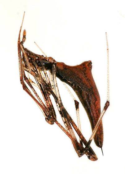Argyrodes projiciens, female - Rhomphaea projiciens - female