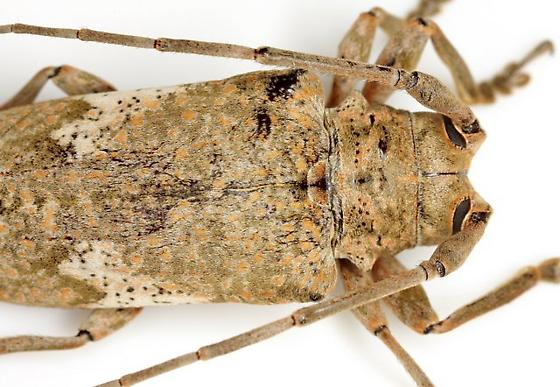 Lochmaeocles c. cornuticeps Schaeffer - Lochmaeocles cornuticeps - female