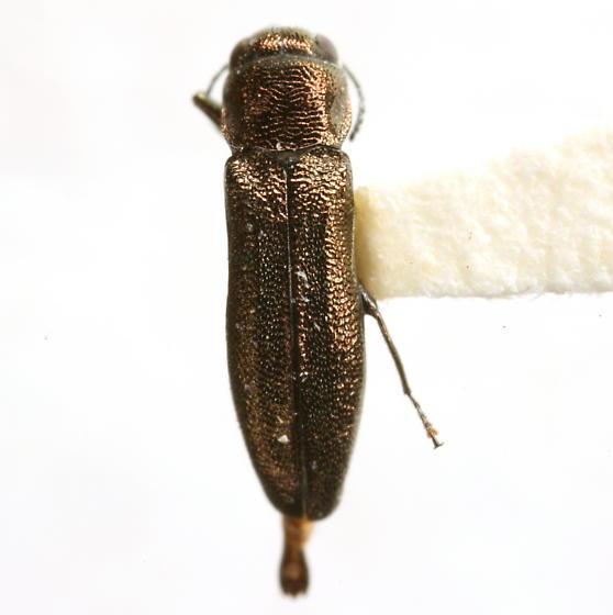 Agrilus putillus parputillus Knull - Agrilus putillus
