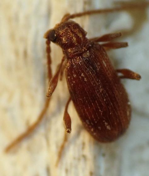 Spider beetle - Ptinus fur - male