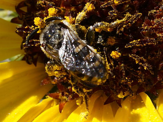 melissodes visiting helianthus - Xeromelecta californica - male