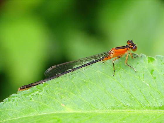 Orange Damsel - Ischnura ramburii - female