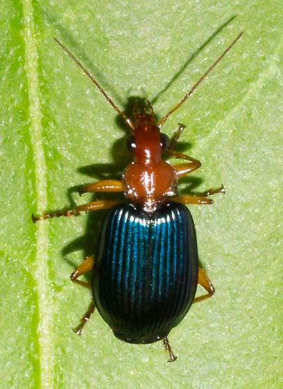Orange and glossy blue beetle - Lebia grandis