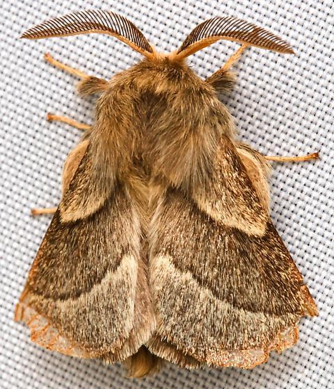 Southwestern Tent Caterpillar Moth?