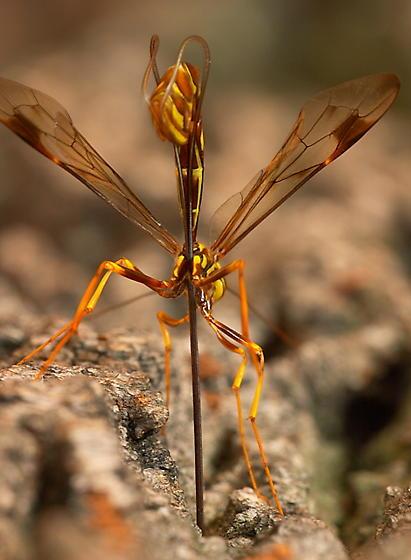 Megarhyssa sp. - Megarhyssa macrurus - female