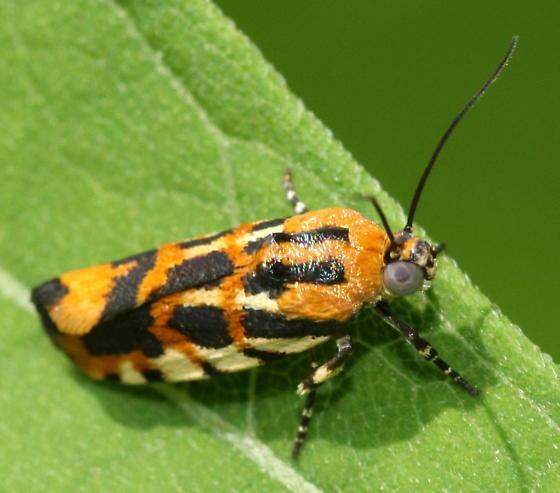 moth - Spragueia leo