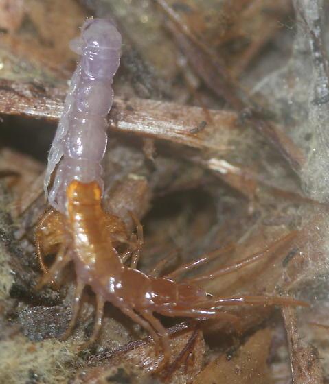 molting stone centipede - Lithobius forficatus