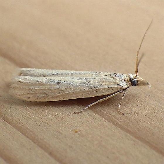 Pyralidae: Unknown specimen - Coenochroa californiella