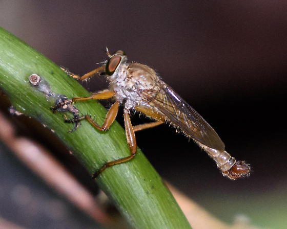 Blonde robber fly - Polacantha - male