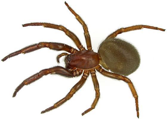 Spider - Plectreurys