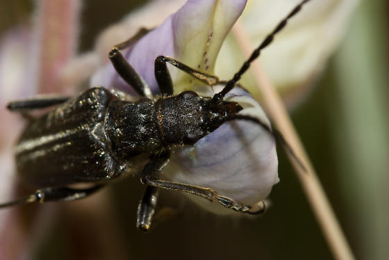 Unknown Cerambycid from California - Stenocorus vestitus